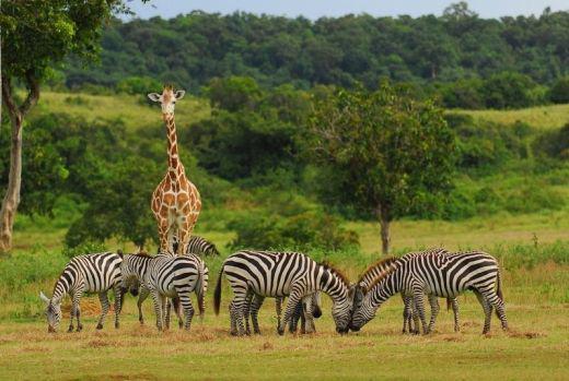 Giraffe and zebras at Calauit Island Safari Park