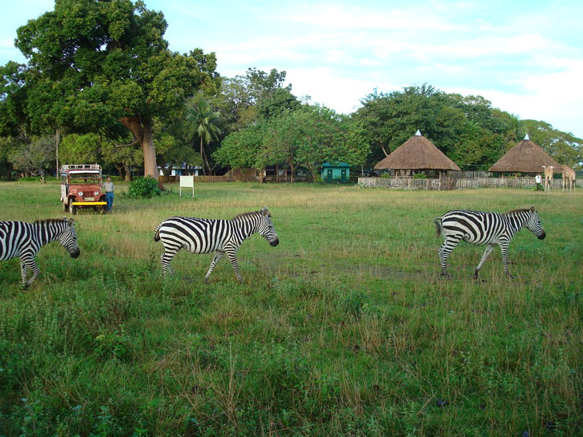 Zebras at Calauit Island Safari Park